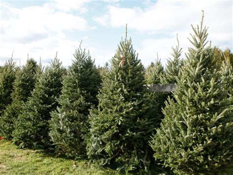 10 places to get a christmas tree riverhead ny patch