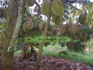 Benih Kelengkeng Yang Bagus durian montong bibit durian montong bibit durian unggul