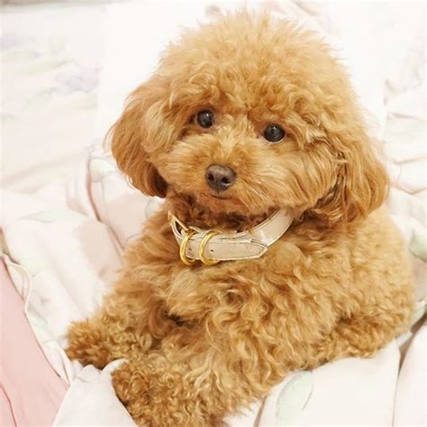 ginger doodle puppy ginger doodle the toy poodle