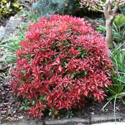 Colourful Foliage Plants - new leaves of pieris japonica mountain fire in spring flickr photo sharing