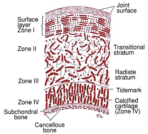 cartilage diagram articular cartilage rehab starts with examination lower