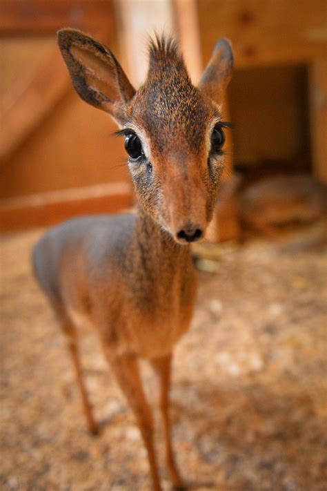 antelope cute baby cub     desktop