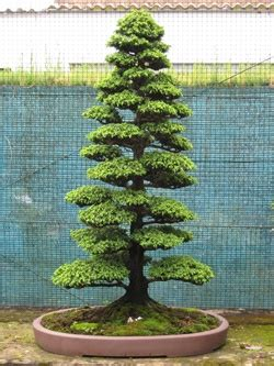 Maple Tree Nursery by Grow Trees From Seed As Bonsai Cultivation Technique