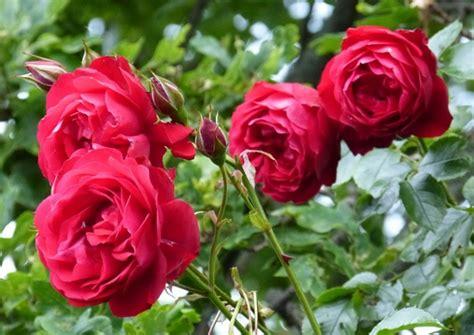 Tanaman Hias Bunga Mawar Floribunda Pink pengertian tanaman hias yang perlu diketahui bibitbunga