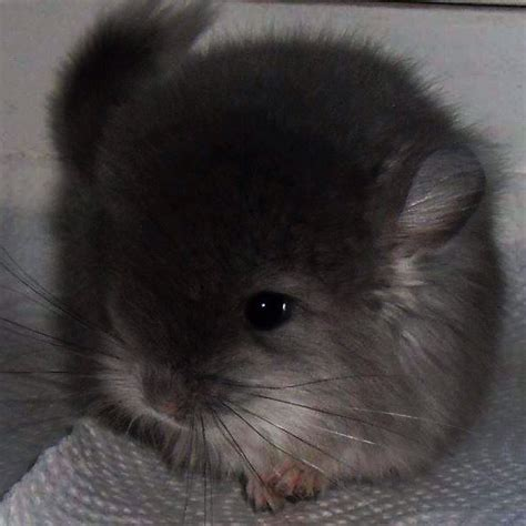 94 best chinchilla images on pinterest chinchillas adorable animals and pets