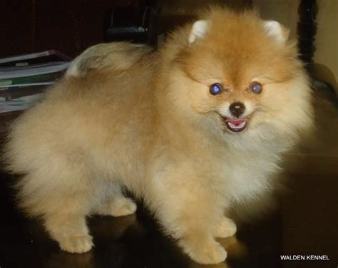 price of a pomeranian beautiful pomeranian puppy for new home breeds picture