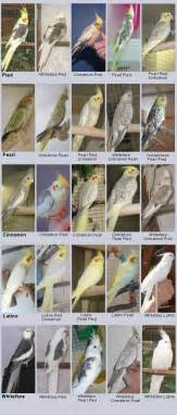 cockatiel colors etusivu neitokakadut variaatioiden aikakausi