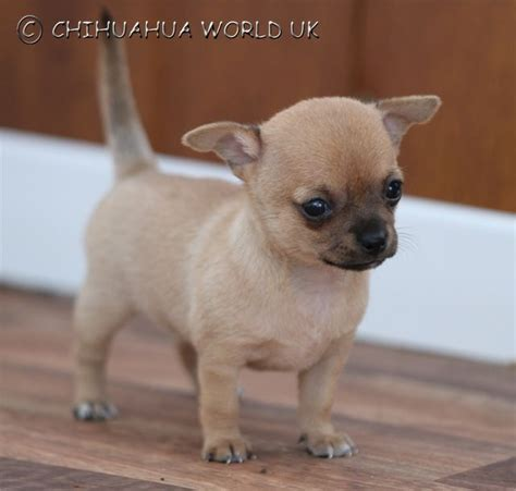 different puppies find out why chihuahua world puppies are different uckfield east sussex pets4homes