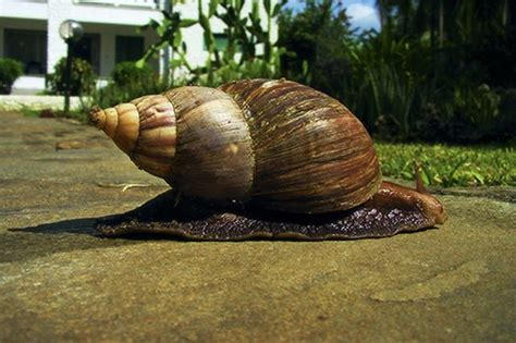 The Largest Snail In The World
