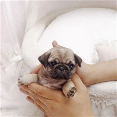 teacup pugs sale 25 best ideas about teacup puppies for sale on tiny puppies for sale