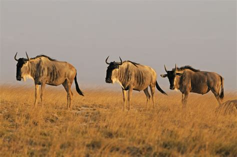 blue wildebeest connochaetes taurinus amboseli national park kenya grid arendal
