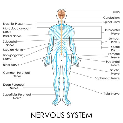 diagram of spine and nerves nerves of the human anatomy diagram human anatomy