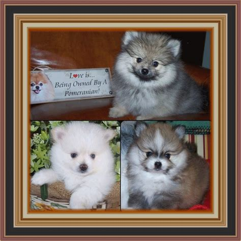 pomeranians for sale in alabama stardust pomeranians akc pomeranian puppies for sale in northern alabama