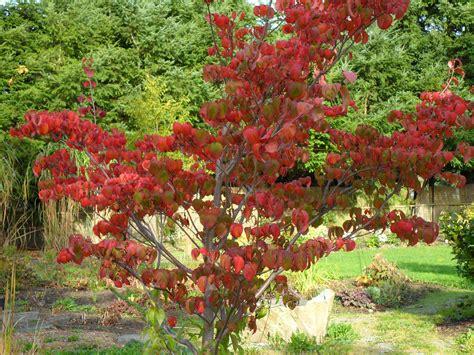 great fall color cornus florida rubra pink flowering dogwood