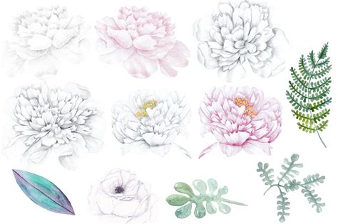 peony clipart watercolor white peony flowers clipart design bundles