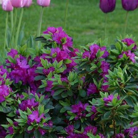 evergreen flowering shrubs for pots 1 x purple azalea japanese evergreen shrub hardy garden