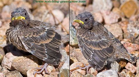 what do baby house finches eat baby finch bird www imgkid com the image kid has it