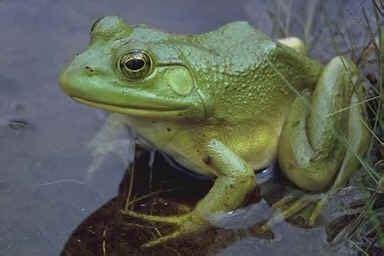 jazwiec amphibians