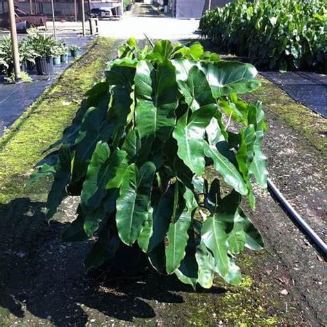 beli disini philodendron burle marx tanaman unik