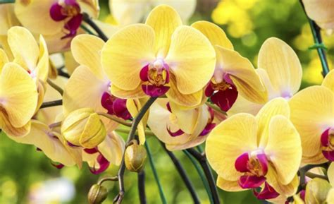 come coltivare le orchidee in vaso come coltivare orchidee in vaso