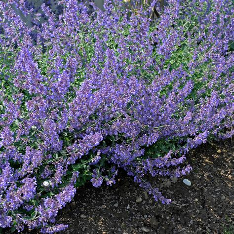 Garden Flowers Annuals Your Guide To Catmint A K A The Perennial Nepeta Sunset