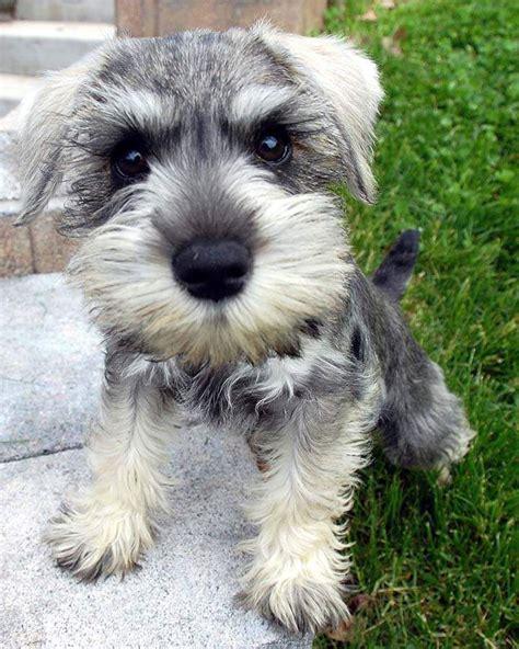schnauzer puppy best 25 miniature schnauzer ideas on schnauzer puppies mini schnauzer