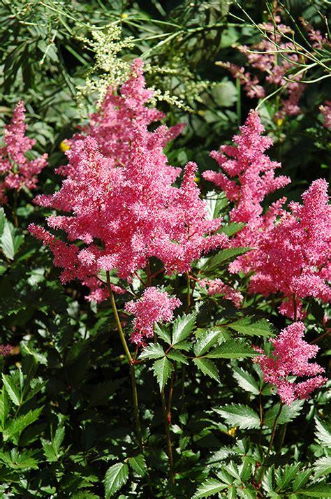floraldesign bremen bremen astilbe astilbe japonica bremen in lincoln