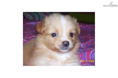 pomchi puppies for sale near me pomchi pomchi puppy for sale near hton roads virginia 8c32a599 2f11
