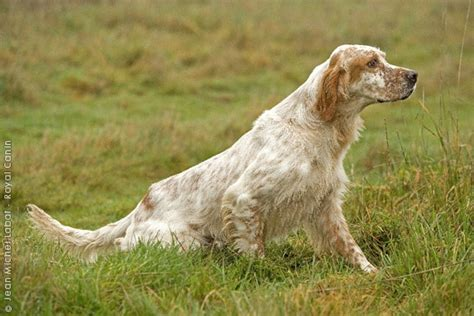 lemon setter dog english and english setters on pinterest
