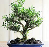 bonsai interieur jardiland jardiland