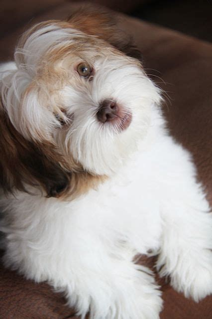 colored havanese 186 best images about havanese on coton de tulear bearded collie