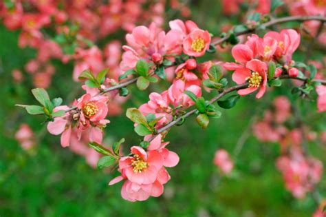 fiori di pesco giapponese significato dei fiori il fior di pesco pollicegreen