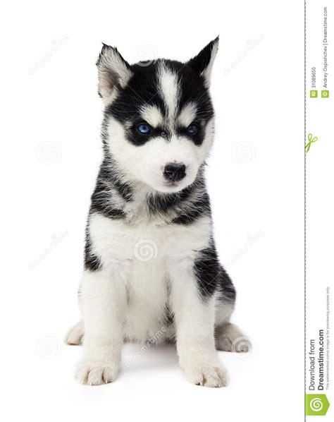 home husky husky mix puppies dog training home dog types