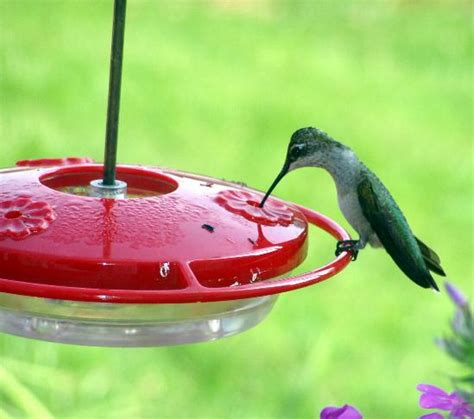 attracting and feeding hummingbirds