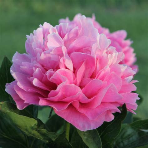 peony color 11 best images about peony hybridizing on home