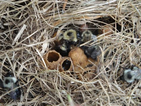 build nests for pollinators its the bees knees