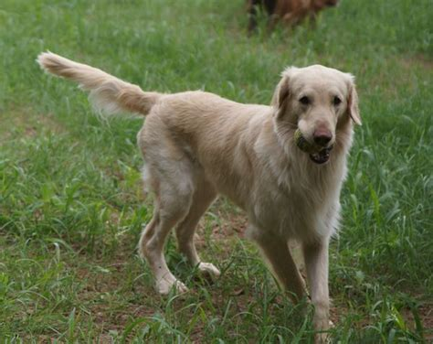 flat haired golden retriever 111 best faltcoats images on flat coated retriever doggies and animales