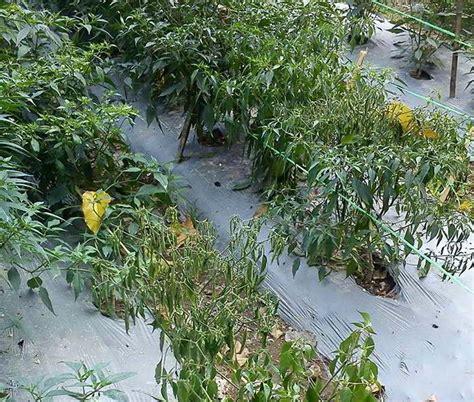 2 penyebab utama tanaman cabai layu dan mati serta cara pencegahannya