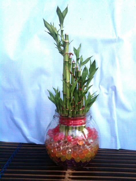 Tanaman Bambu Rejeki Hidrogel foto koleksi tanaman hidrogel tanaman dengan media hidrogel