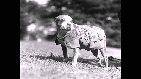 Sgt Stubby Breed Sergeant Stubby Learning Wizscience