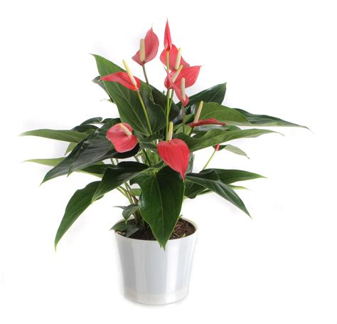 Flowering House Plants For Windows Anthurium