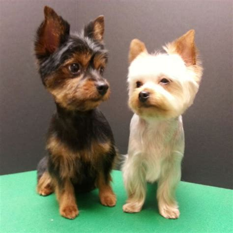 yorkie pom hair cuts 28 best grooming by kristen images on haircuts pomeranian haircut