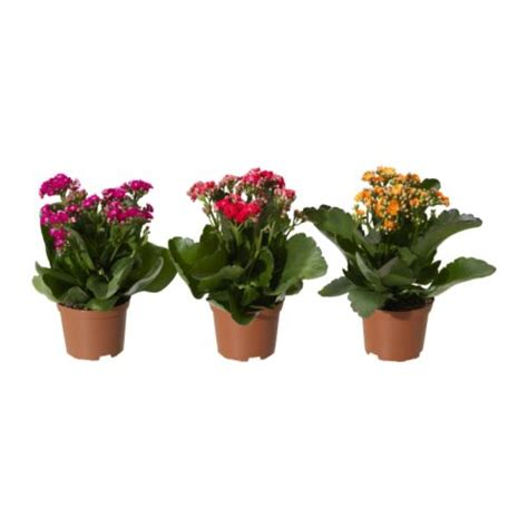 Planter Pots by Kalanchoe Potted Plant Ikea