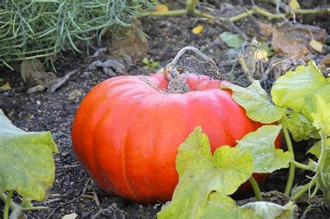 how much pumpkin to give a for constipation a remedy for your liver quot pumpkin honey quot health news