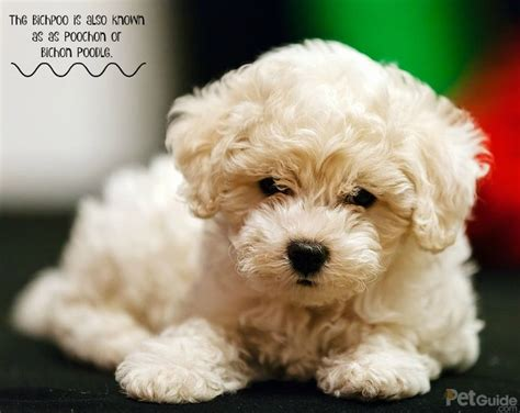 bich poo haircut 29 best poochon dogs images on pinterest doggies