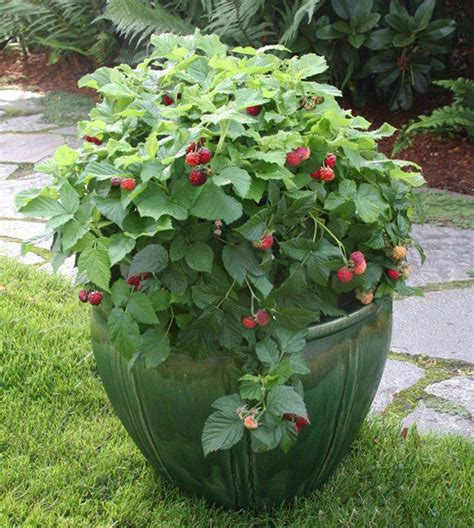 container gardening fruit trees grow attractive fruit bushes even trees in containers