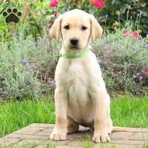 yellow lab puppies for sale in pa yellow lab puppies for sale in pa