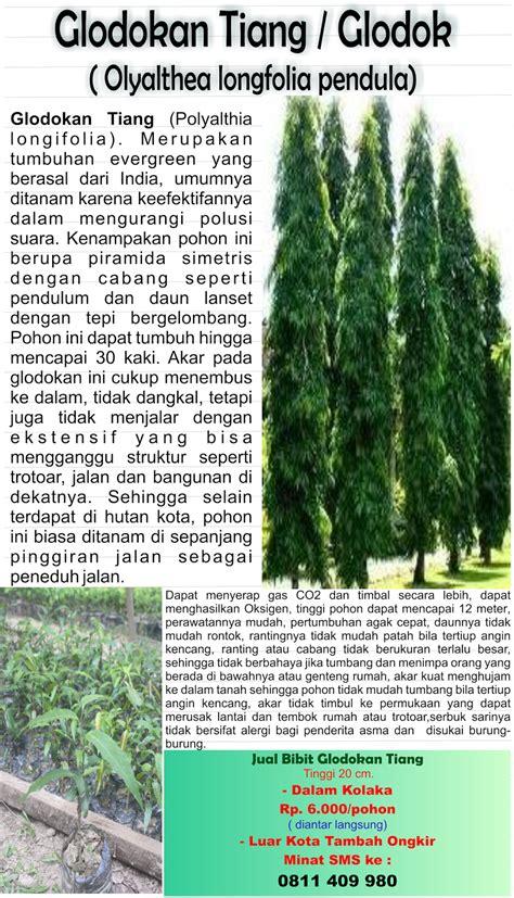 Bibit Glodokan Tiang toko pohon glodokan tiang olyalthea longfolia pendula