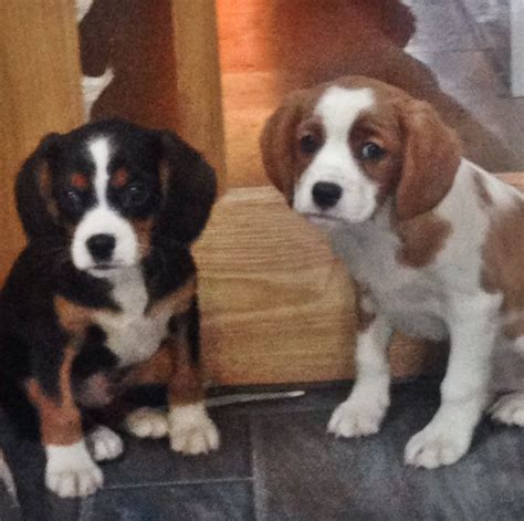 king charles cavalier puppies for sale in pa cavalier king charles spaniel poodle mix