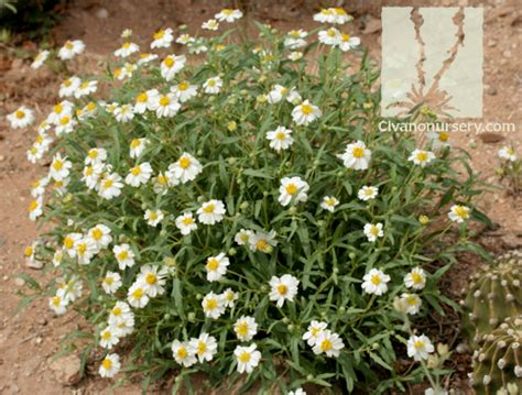 blackfoot daisy melampodium leucanthum civano nursery